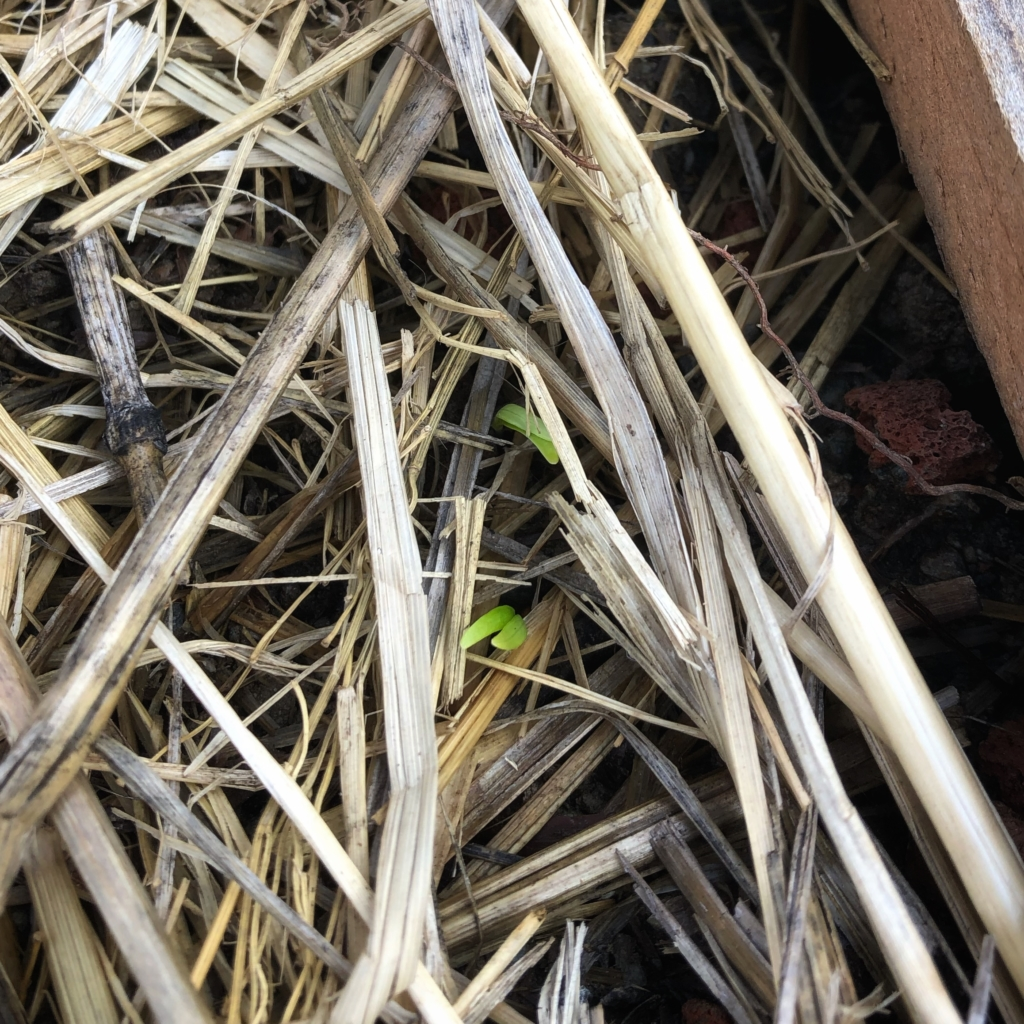 All American Parsnips sprouts